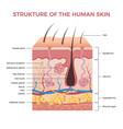 skin anatomy human normal skin dermis epidermis vector image