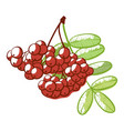 rowan berries bunch icon natural and botanical vector image