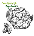 cauliflower vegetable set detailed engraved vector image