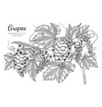 grapes fruit hand drawn botanical with line art vector image vector image