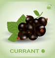 blackcurrant ripe berries with green leaves vector image