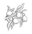 Plum branch with fruit vector image vector image