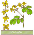 colored celandine in hand drawn style vector image vector image