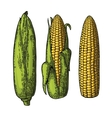 Set ripe cob of corn from the closed to the vector image vector image