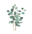 eucalyptus branches or bouquet hand painted vector image vector image