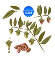 jojoba nuts branches and fruits vector image vector image