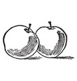 two apples vintage vector image vector image