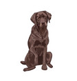 chocolate labrador sitting and giving a paw vector image vector image