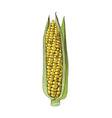 hand drawn corn ear vector image