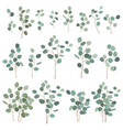 silver dollar eucalyptus elements isolated on vector image vector image