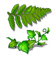 leaves of fern and vine plant isolated on white vector image