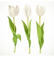 Three white flowers tulips isolated on a vector image vector image