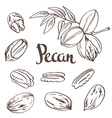 Green Pecan nuts with leaves and dried Pecan nuts vector image vector image