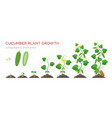 cucumber plant growth stages infographic elements vector image vector image