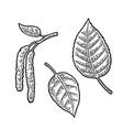 birch leaf and buds vintage engraved vector image vector image