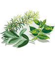 branch of rosemary sage leaves and a sprig of vector image