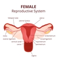 female reproductive system vector image vector image