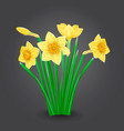 yellow narcissus flowers isolated vector image vector image