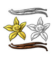 vanilla stick and flower color vintage vector image vector image