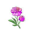 pink peony flower vector image vector image