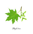 drawing branch maple tree vector image vector image