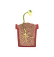 green plant growing from seed of a bean in a pot vector image