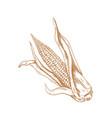 corn hand drawing corn sketch vector image vector image