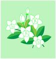 jasmine flower vector image vector image
