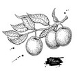 plum branch drawing hand drawn isolated vector image vector image