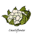 cauliflower hand drawing of vegetables vector image