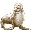 engraving antique fur seal vector image