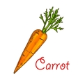 Carrot vegetable isolated sketch for food design vector image