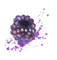 blackberry splashes with watercolors on a white vector image vector image