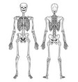 skeleton structure back and front view human vector image
