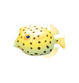 spherical boxfish isolated on white background vector image