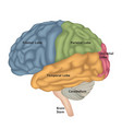 brain anatomy human brain lateral view vector image vector image