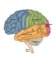 brain anatomy human brain lateral view vector image