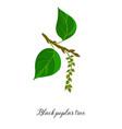 drawing branch black poplar tree vector image vector image
