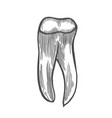 human tooth isolated vector image