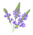 purple flowers verbena vector image