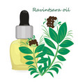ravintsara essential oil vector image vector image