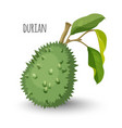 exotic durian in sharp closed skin with leaves vector image vector image
