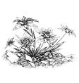 Edelweiss etch vector image vector image