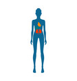 female body and kidney heart vector image