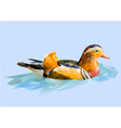 Mandarin duck vector image vector image