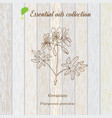 geranium essential oil label aromatic plant vector image vector image