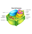 Plant cell anatomy vector image vector image