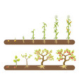 corn and tomato plant growing stages isolated vector image
