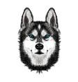 siberian husky dog on white background vector image vector image
