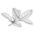 branch of island oak vintage vector image vector image